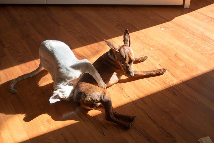 love bites Catdog Devonrex Friend Indoors  Minpin No People Pets Shadowplay