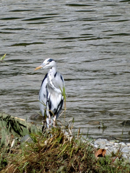 Ardea Cinerea - Serchio River Animal Themes Animal Wildlife Animals In The Wild Beauty In Nature Bird Gray Heron Grey Heron  Grey Heron In Winter Grey Heron On The River Shore Heron Heron Along The River Heron In Winter Nature Outdoors Perching Water