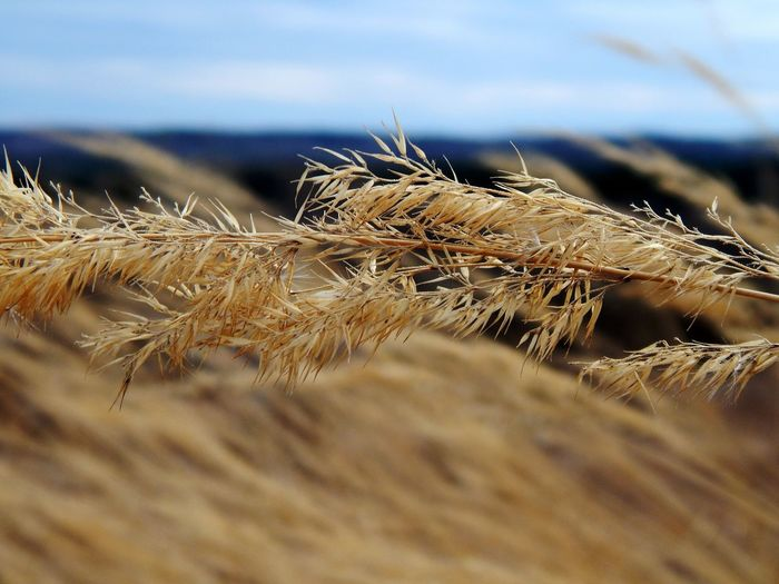 Cereal Plant Wheat Rural Scene Agriculture Field Sky Close-up Grass Landscape Hay Bale Ear Of Wheat