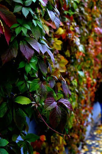 Цвет осени Colored Parthenocissus Autumn Beauty In Nature Branch Climbing Plant Close-up Colour Of Life Colours Of Nature Day Decorative Grape Growth Leaf Low Angle View Nature No People Outdoors Plant Tree