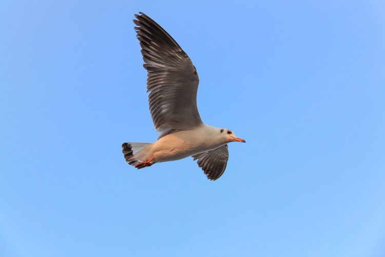 Low angle view of seagull flying in clear blue sky