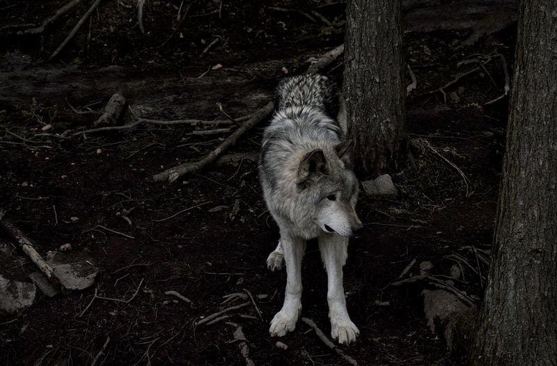 Wolf Fairytales
