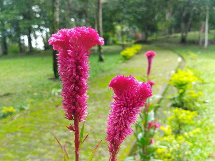 a pair of tall pink flowers on a green pathway Petal Flora Flower Head Texture Plant Flowrrs Rosé Pink Stem Park Pathway Walkway Vegetation Nature Forest