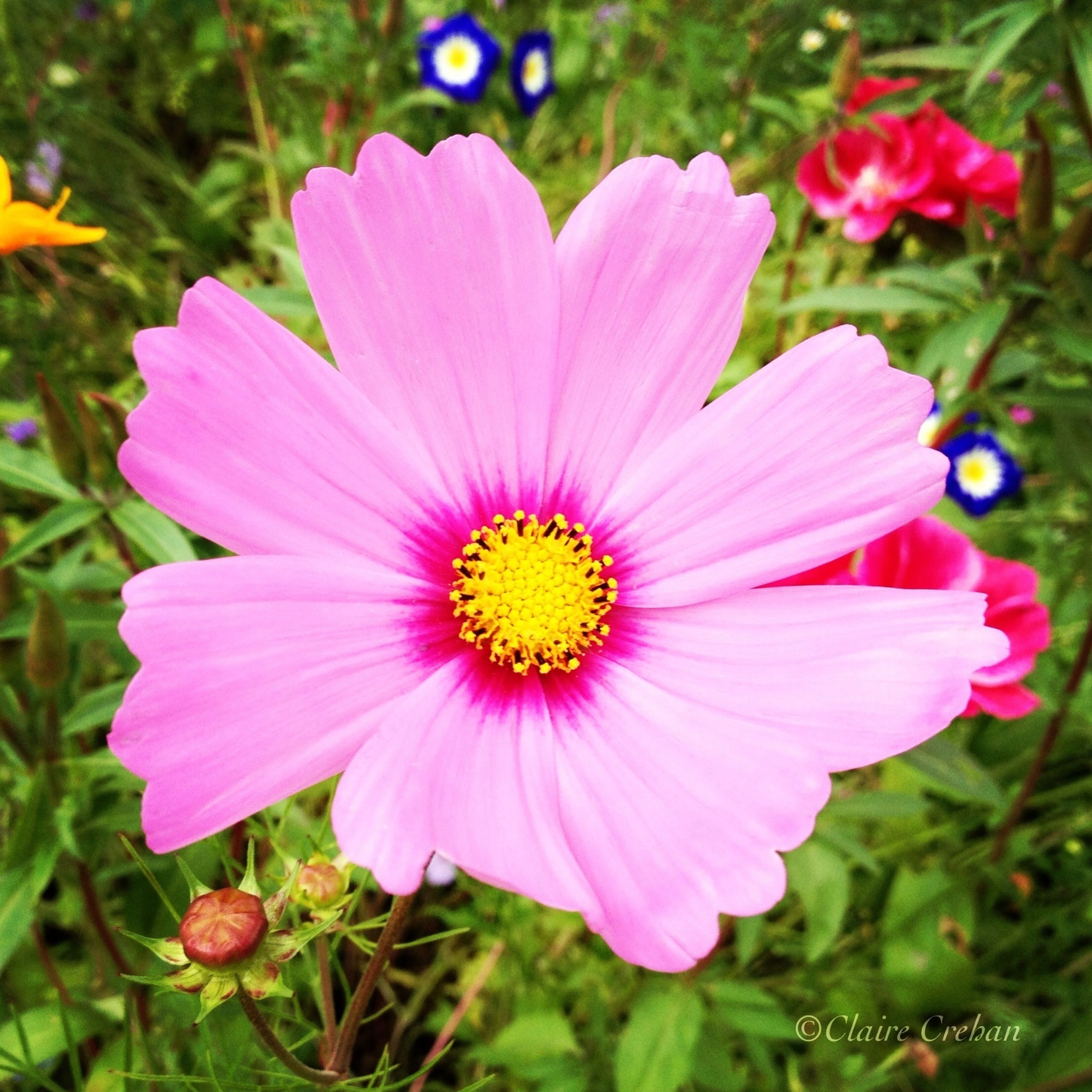 flower, petal, freshness, flower head, fragility, pink color, growth, pollen, beauty in nature, blooming, close-up, single flower, nature, focus on foreground, plant, cosmos flower, in bloom, stamen, pink, day