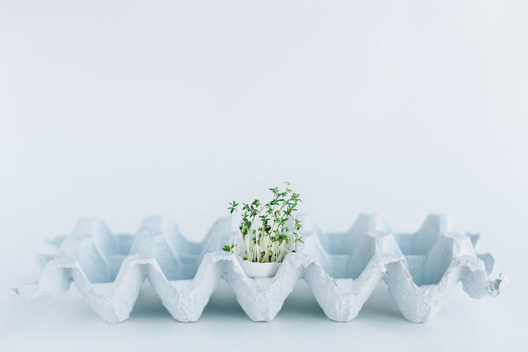 vegan easter, fresh micro-green with eggshell in a container on a blue background Easter Close-up Copy Space Day Egg Fragility Freshness Indoors  Microgreens Nature No People Shell Vegan Food White Background