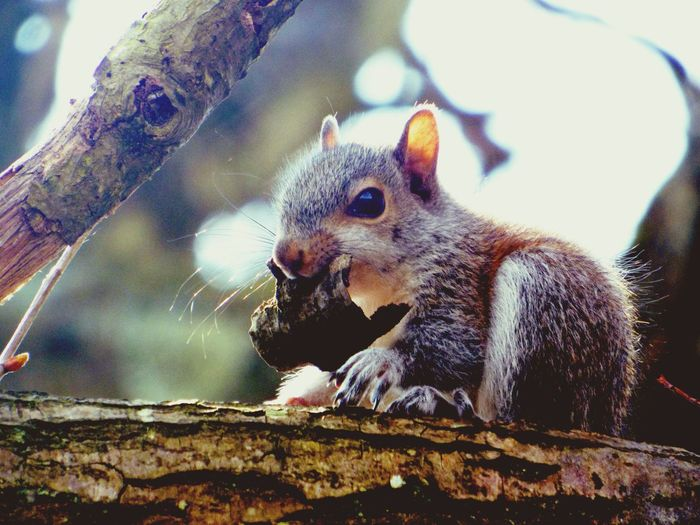 Close-Up Of Squirrel With Dry Leaf On Branch