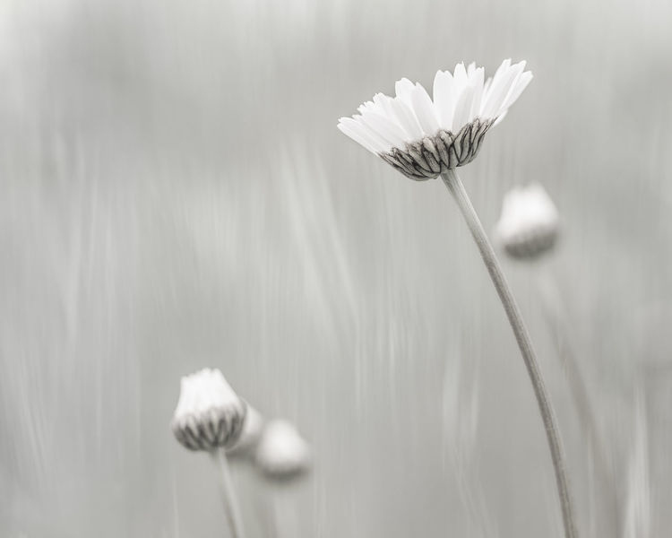 Daisies Backgrounds Beauty Beauty In Nature Black & White Blooming Bokeh Botany Daisies Daisy Depth Of Field Elégance EyeEm Nature Lover Flowers Fragility Light Nature Petals Selective Focus Softness Summertime White Wildflower Flower Photography Macro Fine Art Photography