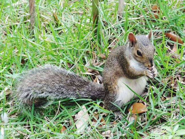 We all need to eat. 😄 Grass Rodent One Animal Animal Themes Outdoors Nature Mammal Day Animals In The Wild Animal Wildlife Squirrel Field No People Close-up