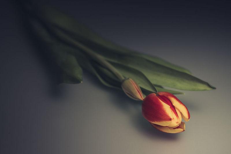 laying tulip