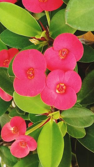 Beautifully Organized Leaf Heart Shape Close-up Painted Image Red Pink Color Plant Freshness No People Green Color Flower Shape Concentric Nature Outdoors Plant Part Flower Head Day