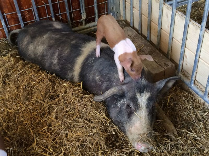 Naughty piglet Animal Themes Domestic Animals Mammal Mother Pig Pig Piglet Two Animals Zoology