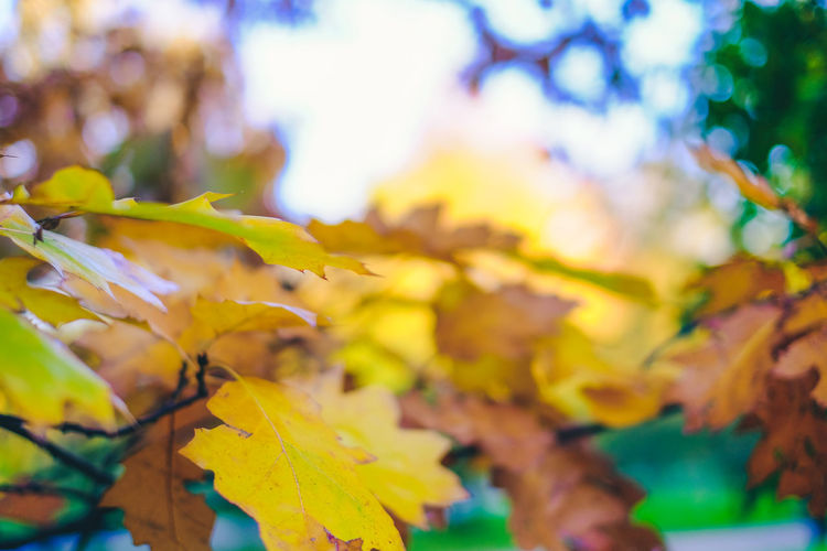 Autumn Autumn Colors Autumn Leaves FUJIFILM X-T10 Taking Photos Autumn Beauty In Nature Branch Change Close-up Day Fiujifilm Fuji Growth Leaf Leaves Maple Maple Leaf Maple Tree Nature No People Outdoors Scenics Tranquility Tree Wasiak Yellow