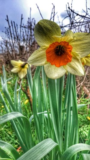 Daffodils Welsh Countryside Wales You Beauty Walking Around Spring Flowers Hdr_Collection Hdr Flowerporn  Enjoying The Sun Flowerporn Daffodils Flowers Splash Of Orange