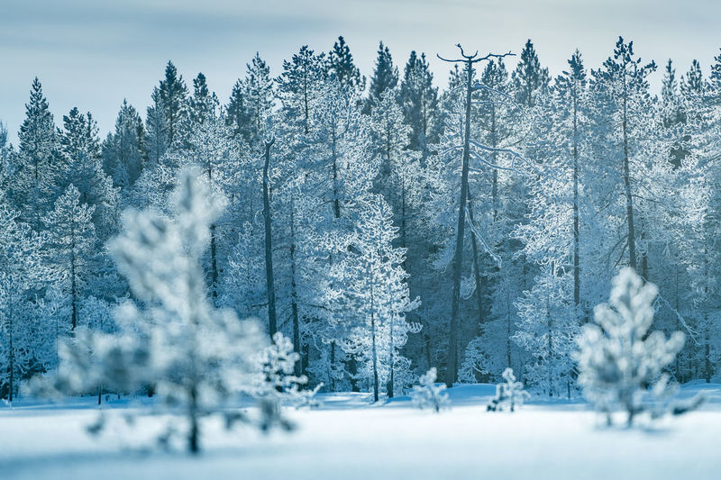 Frozen Forest Finland Frozen Lapland Winter Cold Temperature Forest Polar Circle