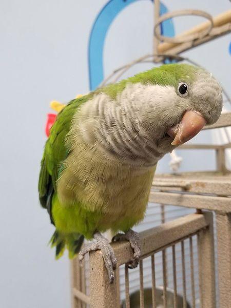 Curious Quaker Parrot Monk Parakeet Quaker Parrot EyeEm Selects Perching Bird Close-up Parrot