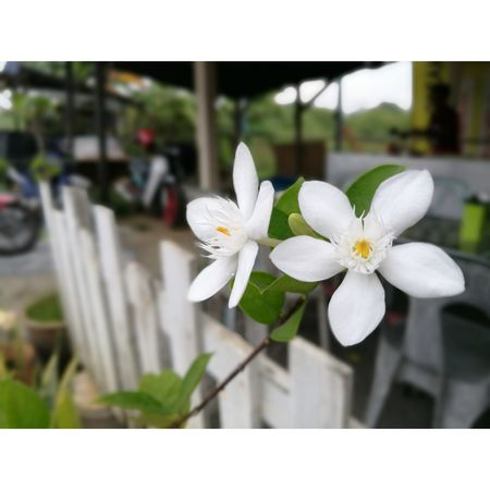 Flower Freshness Fragility Petal White Color Beauty In Nature Growth Close-up Flower Head Blossom Stem Focus On Foreground Springtime In Bloom Season  Nature Botany Plant Day Growing