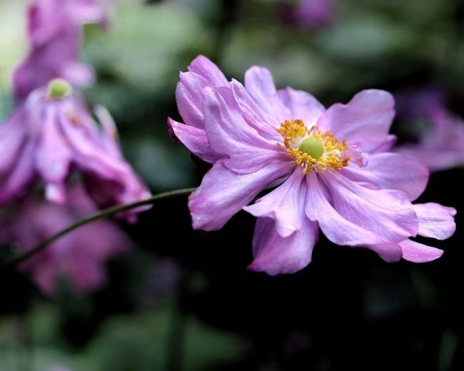 EyeEm Nature Lover EyeEm Gallery EyeEm Best Shots - Nature EyeEm Flower Japan 日本 花 Japan Photography Pink Flower Flower Head Flower Pink Color Springtime Petal Blossom Pollen Close-up Plant
