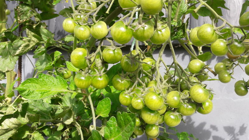 young green tomatoes Greenery Green Green Green!  Green Plant Tomatoes From My Garden , Nature Tomatoes Growing Tomatoes Branch Environmental Fruit Leaf Agriculture Sour Taste Ripe Bunch