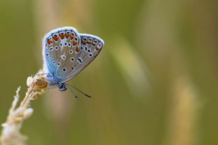 Animal Antenna Animal Themes Beauty In Nature Butterfly Butterfly - Insect Close-up Common Blue Common Blue Butterfly Insect Selective Focus Wildlife