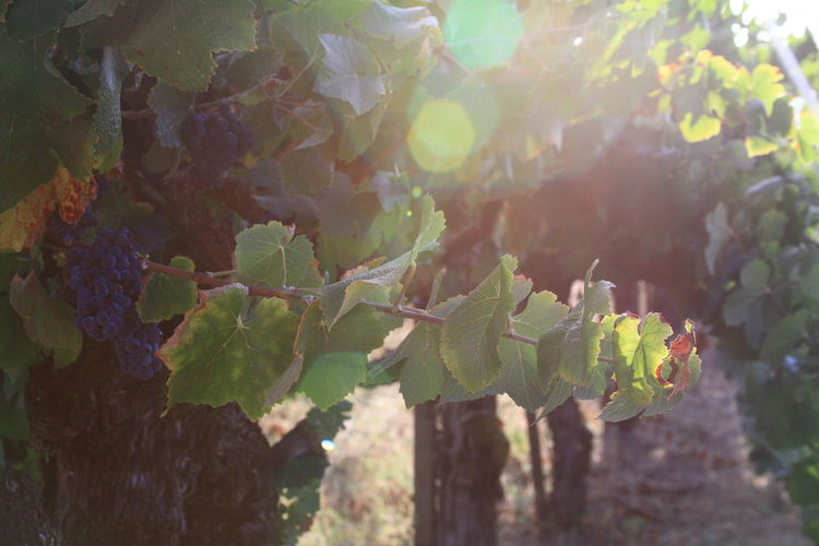 Growth Nature Grape Outdoors Green Color Agriculture Rural Scene Beauty In Nature Vine - Plant Close-up Mendocino County Willits California Countryside Northern California Ranch Life California Dreaminnorthern california is known for its orgNic wine you cant drive through without stopping to taste.