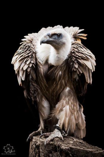 Bird of prey Bird Photography Eagle Geier Hawk Adler Bird Of Prey Bird Portrait Birds Eagle Photography Eagle Portrait Eagles Greifvogel Greifvogel Hawks Indian Spirit Indian Spirits Mystic Birds Vulture