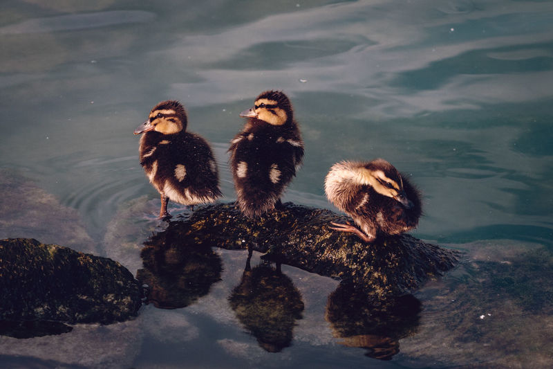 Young Ducks Perching