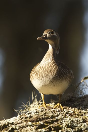 Animal Animal Themes Animal Wildlife Animals In The Wild Beauty In Nature Bird Close-up Day Female Wood Duck Nature No People One Animal Outdoors Standing