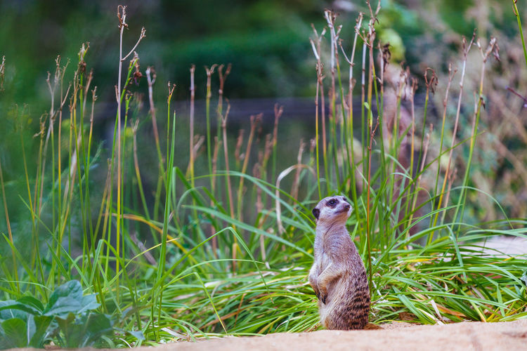 surikat in sand Surikata Surikat Sand Grass Reptile Animal Themes Grass Close-up Sand Dune Sandcastle Marram Grass Meerkat