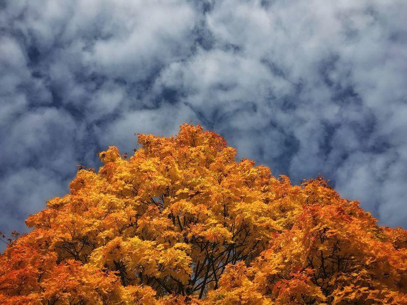 Autumn Colors Tree Blue Sky Lookingup Orange Blue Leafs Gold Golden Leaf Autumn Autumn Leaves Backgrounds Copy Space Negative Space Bluesky Blue Sky And Clouds Pattern Pieces Pivotal Ideas