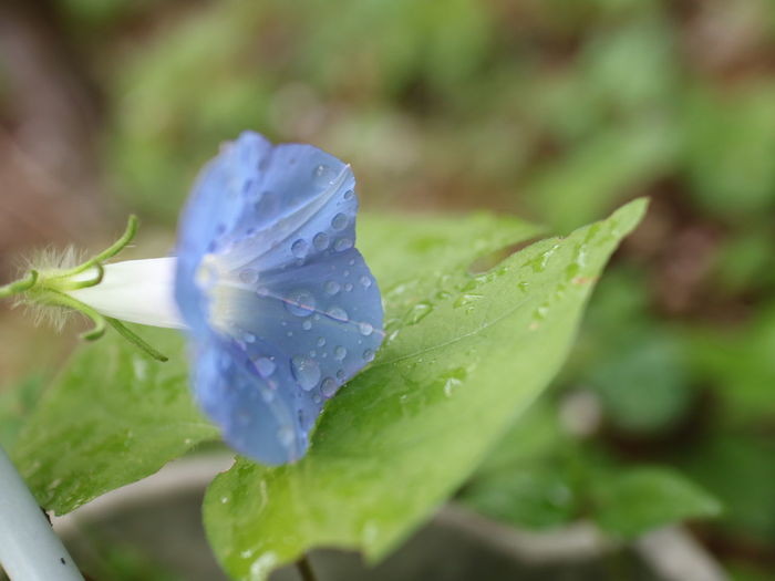 Leaf Selective Focus Close-up Drop Fragility Green Color Nature Freshness Plant Flower Beauty In Nature Flower Head No People Water Day Outdoors 朝顔