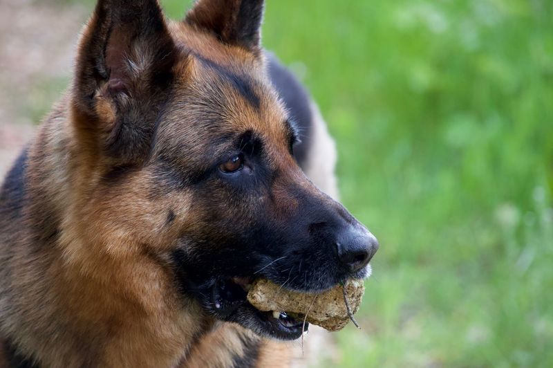 One Animal Animal Themes Animal Mammal Vertebrate Dog Focus On Foreground Pets Domestic Animals Brown Animal Head  Animal Body Part
