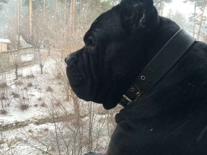 Animal Cane Corso Dog