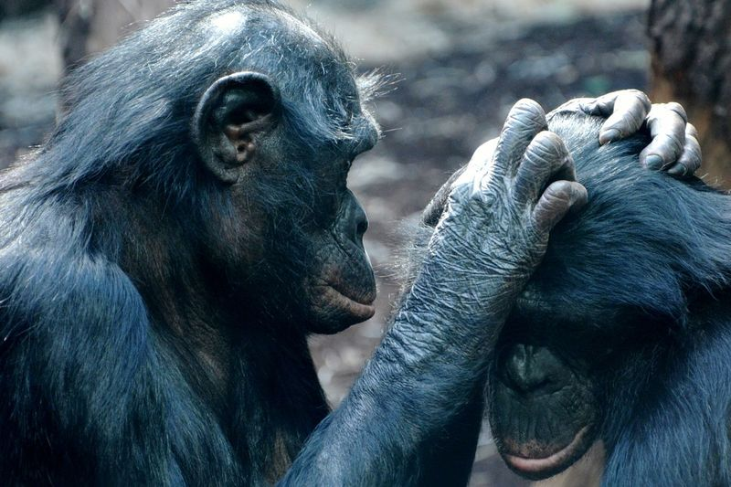 Close-up of gorilla's