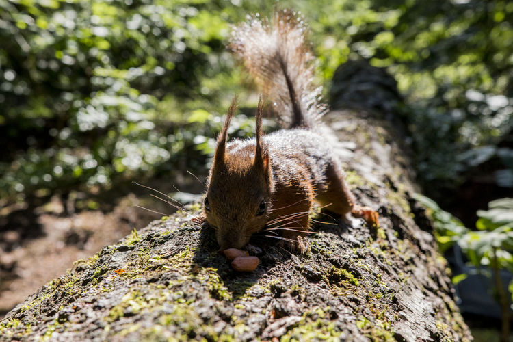 Close-up of eurasian red squirrel with peanuts on fallen tree trunk