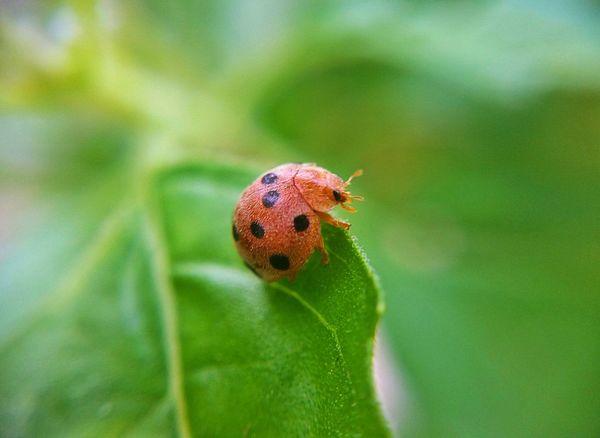 Ladybug on green leaf. Ladybug Ladybird Beetle Beetle Ladybirds Macro Nature Insect Insecta Green Orange
