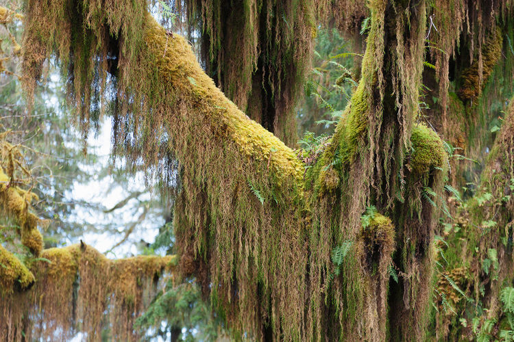Close-up of lichens hanging on tree at hoh rainforest