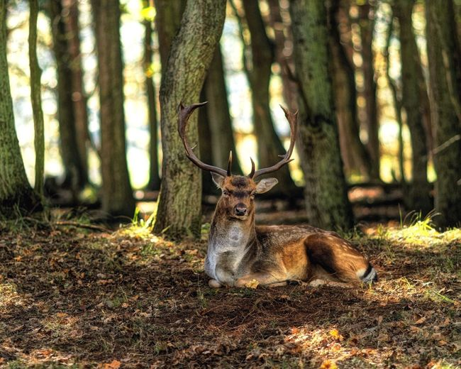 Buck Animal Themes Animal Tree Mammal Animal Wildlife Vertebrate Land One Animal Animals In The Wild Forest Nature Deer