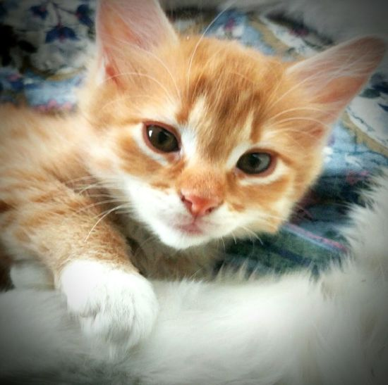 Look at this lil Peanut getting so big! Yet still so tiny!!!! 9 weeks old!!!😻😻😻😻💜💜💙💜💚💚💜💕💕💕💕💕💕 Domestic Cat Domestic Animals Looking At Camera Pets Animal Themes Mammal Feline One Animal Whisker Close-up Gingercatsofinstagram Gingercat Young Animal Ginger Kittens Tranquility Always Be Cozy Pet Portraits