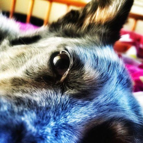 One Animal Pets Domestic Animals Indoors  Animal Themes Close-up Blue Heeler Girl Dog Love Australian Cattle Dog Mans Best Friend♡ Devotion Mammal