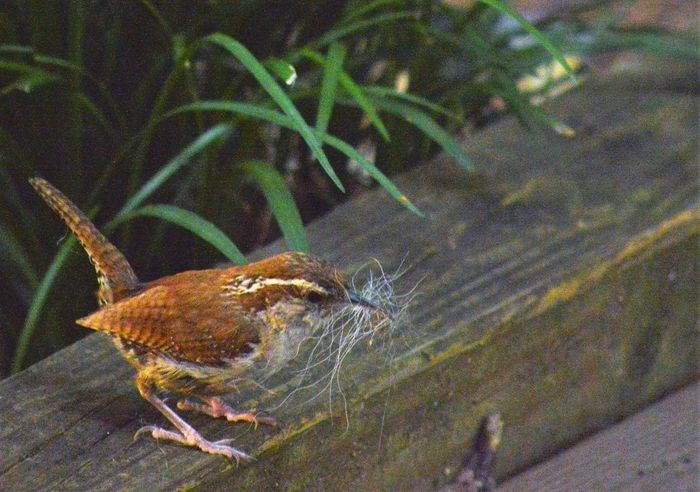 Bird with nesting material in its beak Feathers Animal Themes Animals In The Wild Beaks And Feet Building A Nest Claws'n Paws Close-up Dog Fur Nature Nestbuilding One Animal Perching Wren