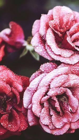 Rose - Flower Morning Love Flower Pink Color Beauty In Nature Freshness