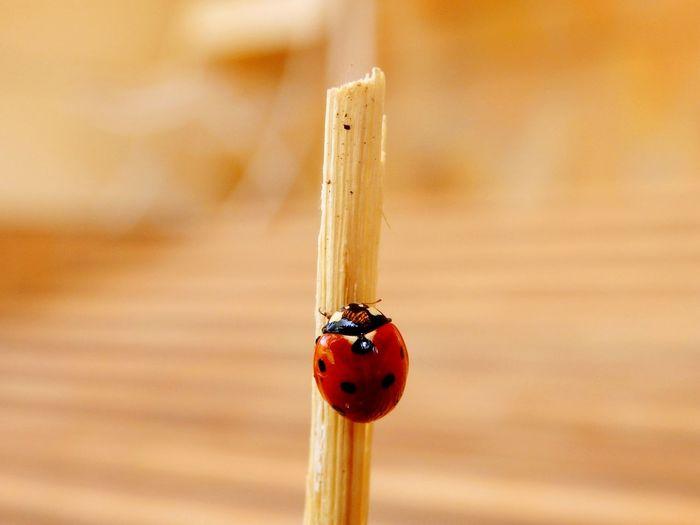 I find this cute ladybug 🐞🐞🐞 Ladybug Nature On Your Doorstep EyeEm Nature Lover Bug Life The EyeEm Facebook Cover Challenge EyeEm Animal Lover Katicabogár Eyeem Hungary Ladybird Summer Views Macro Beauty