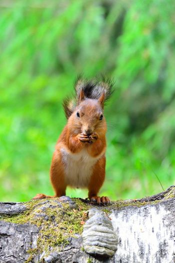 Portrait of squirrel eating nut while standing on log