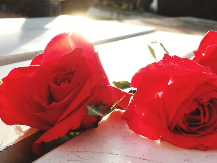 Roses on bench #flowers # red # rose # sunrise# #photography #Sunrise #JustMe #stillphotography #Enjoyinglife #check It Out #Nature  #bench #BenchIsLife #Squad Rose Petals Pollen In Bloom Petal