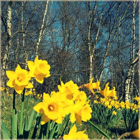 Spring! Daffodils Birch Wood Narcissus