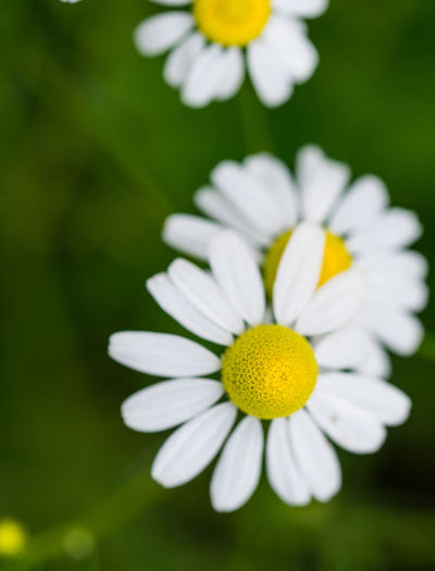 daisy Beauty In