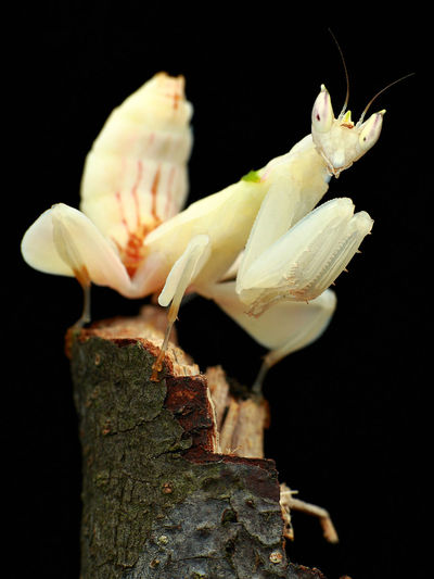 White Orchid Mantis on a stick. Beautiful EyeEm Nature Lover Orchid Mantis Animal Themes Black Background Close-up Details Eyem Gallery Eyemphotography Mantis Nature No People Outdoors White