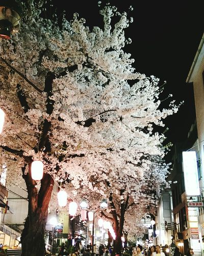 Walking Around Taking Photos Sakura2015 Sakura Cherry Blossoms