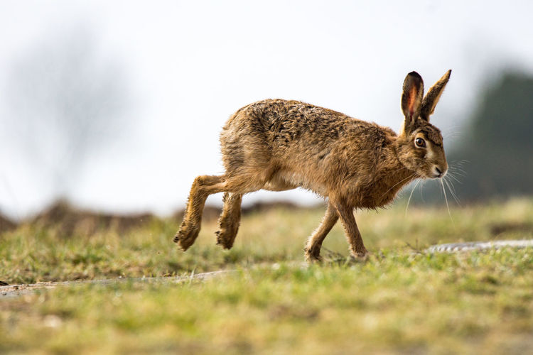 European Hare (Lepus europaeus) Lepus Europaeus Animal Themes Animal Wildlife Animals In The Wild Bunny  Close-up Day Eastern Feldhase Full Length Grass Hase Mammal Nature No People One Animal Outdoors Rabbit
