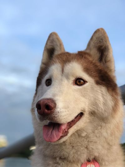 Siberian husky Lovely Dog Siberian Husky Husky One Animal Dog Canine Mammal Animal Animal Themes Pets Domestic Animals Domestic Vertebrate Close-up Sky Animal Body Part Looking Away Looking Animal Head  No People Day Sticking Out Tongue Focus On Foreground